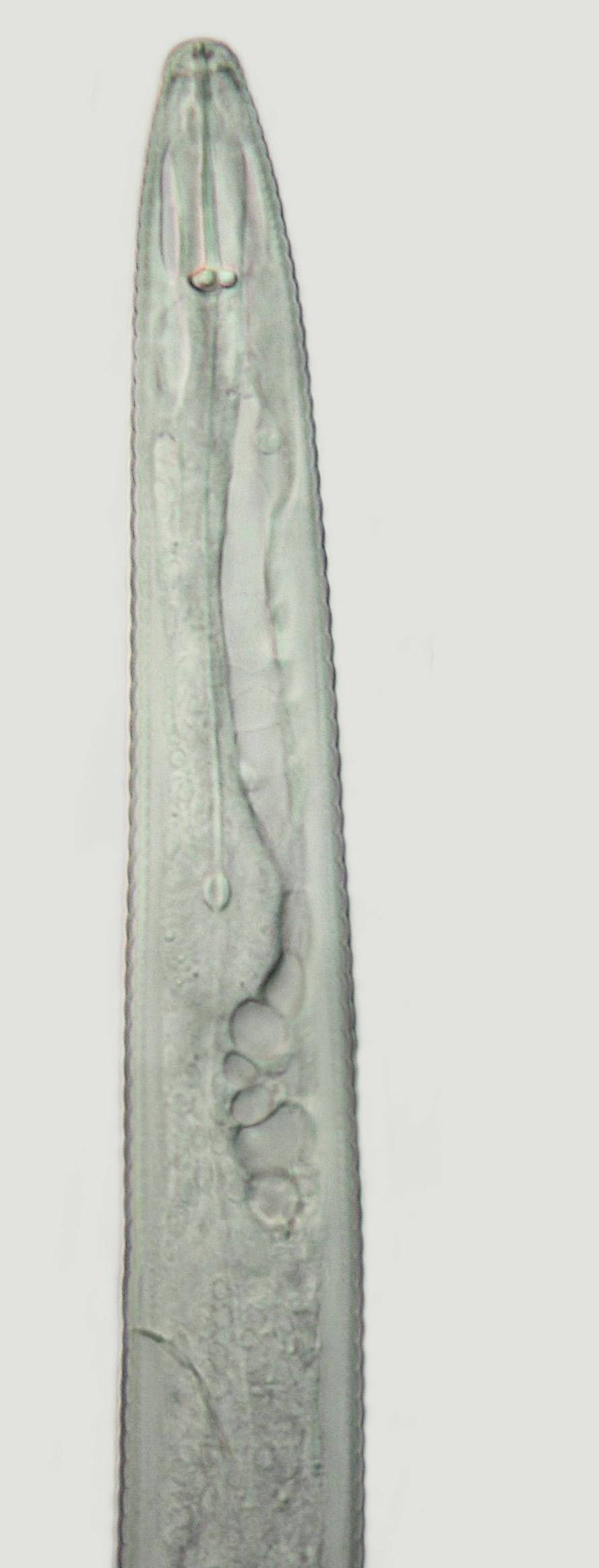 Species comparisons-Helicotylenchus heads