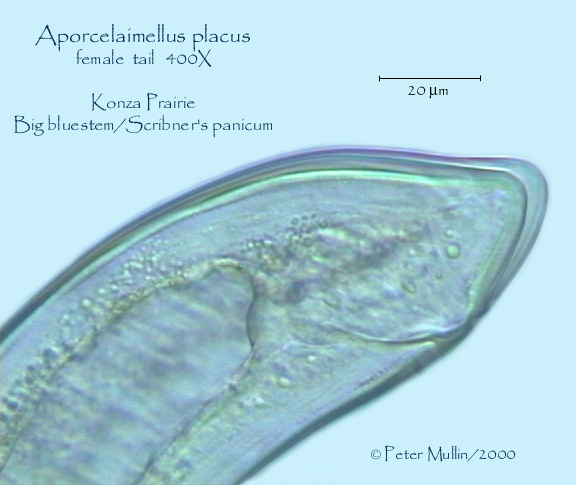 ... narrow lateral field and hyaline areaoccupying ventral portion of tail