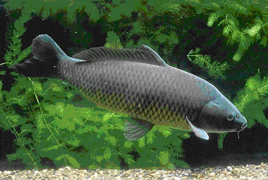 Common carp fish species page for Carp in a fish tank