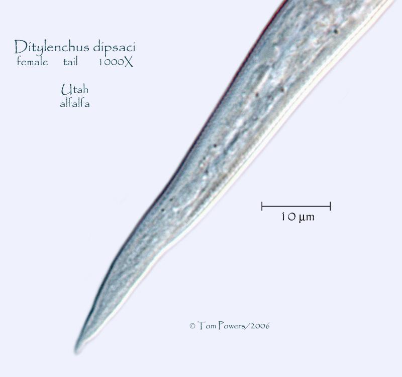 Ditylenchus dipsaci Photo Gallery- Utah