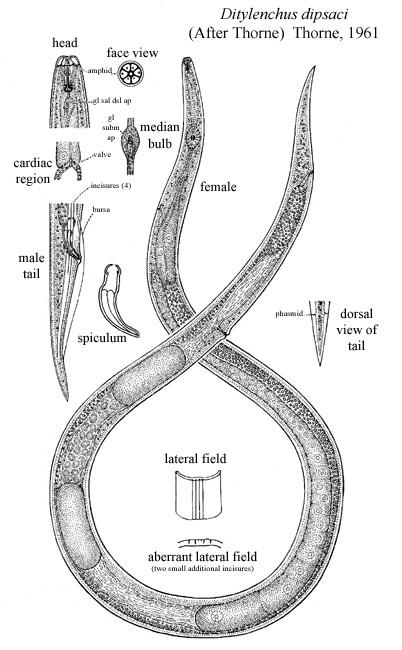 Ditylenchus Dipsaci