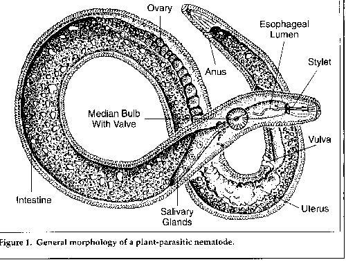 Nematode mouth