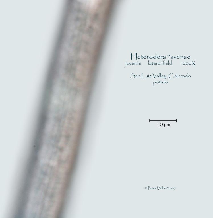 heterodera avenae photo gallery