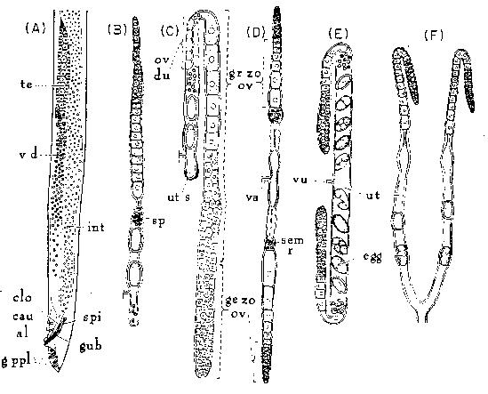 Reproductive Systems Of Nematodes