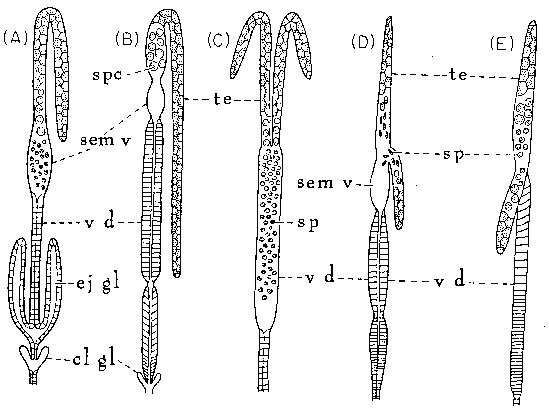 Reproductive systems of nematodes in plant parasitic nematodes vol i 1971 academic press pg 52 53 the presence of one or two copulatory spicules help dialate the vulva and can also ccuart Image collections