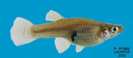 Western Mosquitofish