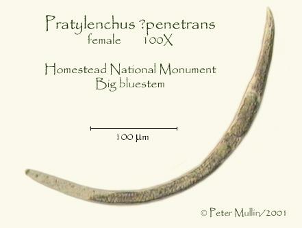 Pratylenchus penetrans Photo Gallery-Homestead
